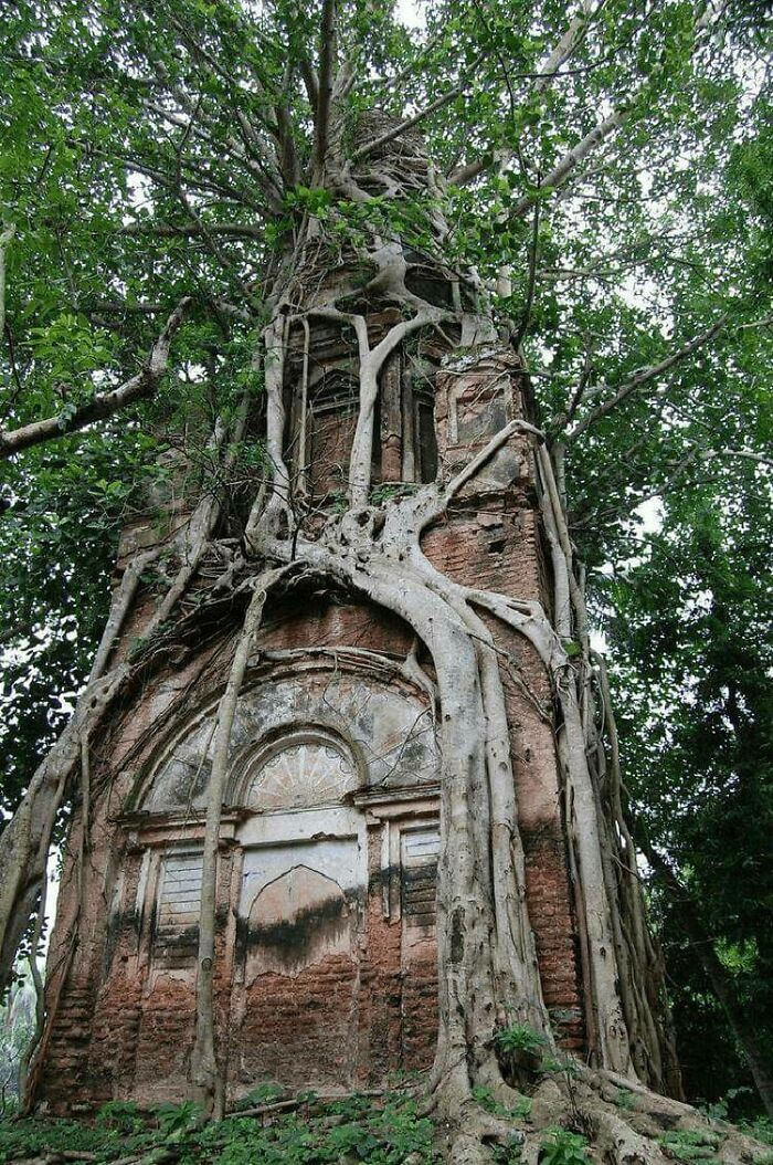 Old Shiva Temple Firmly Embraced By The Sacred Bodhi Tree In Bangladesh
