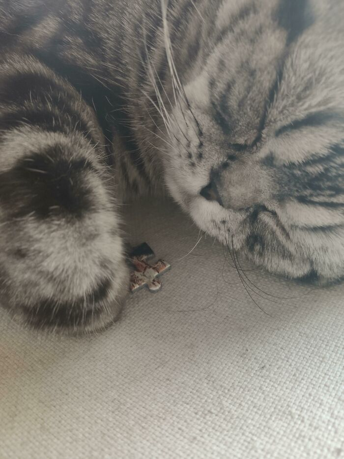 My Cat, Deeply Asleep With The Last Piece Of A Jigsaw Puzzle. We've Been Searching For It For 10 Minutes