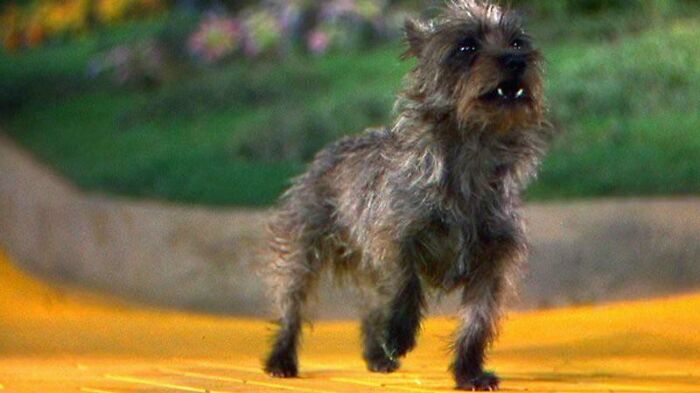 For Her Contribution To The Wizard Oz (1939), Terry The Dog (Toto) Earned $125 Per Week, While The Actors Playing The Munchkins Were Given Just $50 A Week