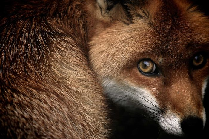 'Fox Glance (Red Fox), By Samuel Morris, 2013