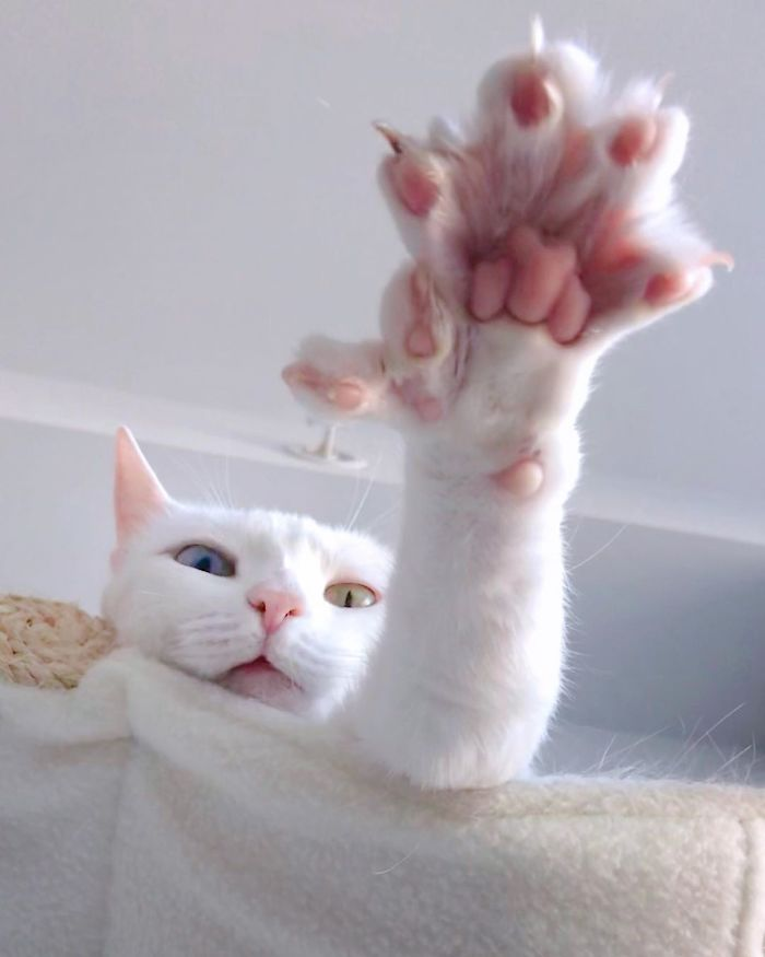 This Cat Has Both Heterochromia And Extra Toes
