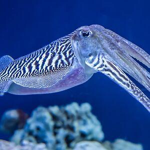 CuttlefishRule