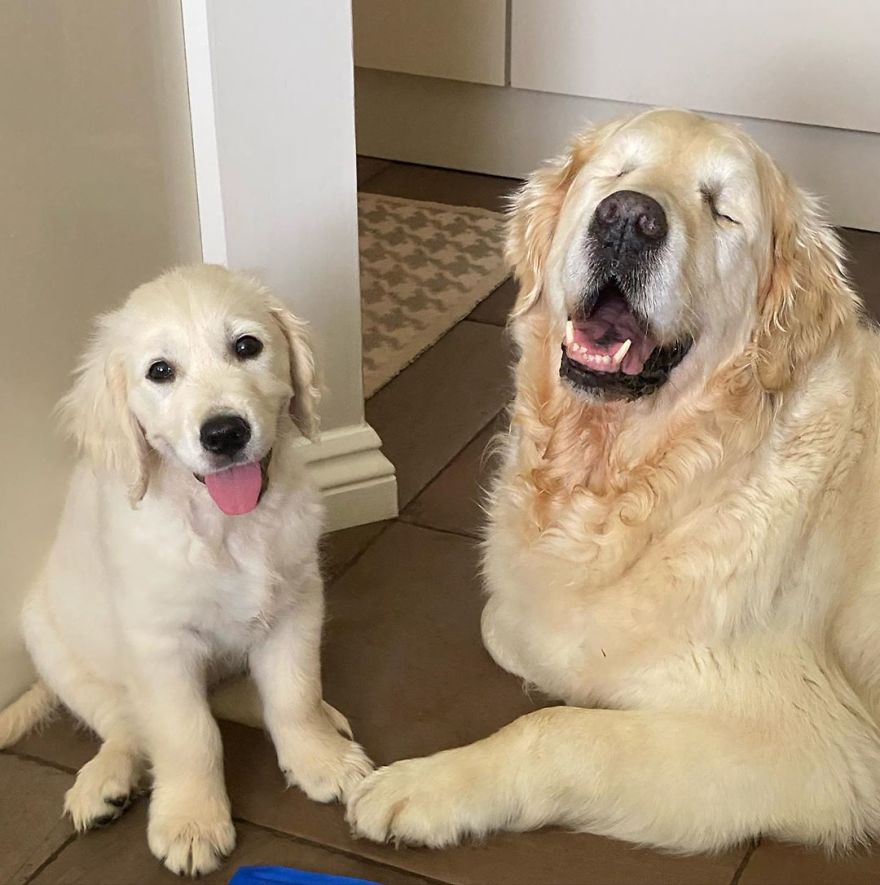 Little Golden Retriever Puppy Becomes A Guide For A Blind Dog (28 Pics)