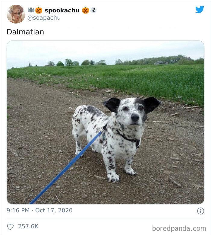 Dálmata
