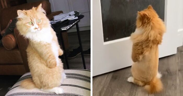 Over 117k People On Tiktok Are Obsessed With This Cat Named Rex Who Learned How To Walk Like A Human After Losing His Front Paws Bored Panda