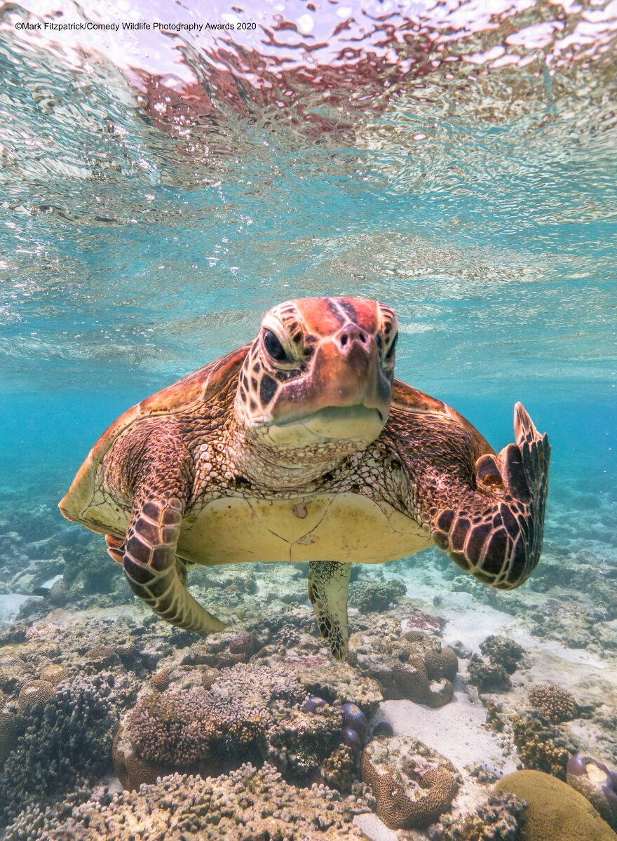 """Overall Winner And Creatures Under The Water Award Winner : """"Terry The Turtle Flipping The Bird"""" By Mark Fitzpatrick"""