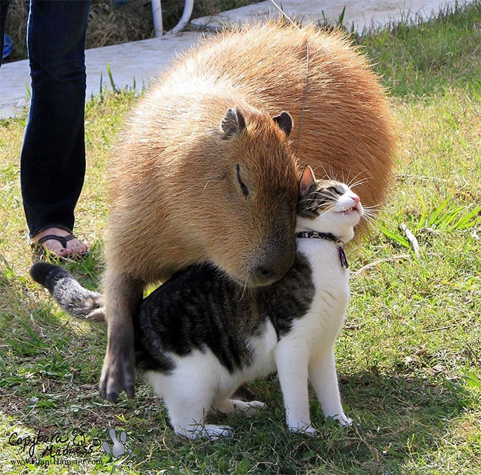 Capybara's Are Social Animals, Who Get Along With A Large Variety Of Other Animals, Including Chickens, Ducks, Dogs, Cats, Llamas, Rabbits And Turtles