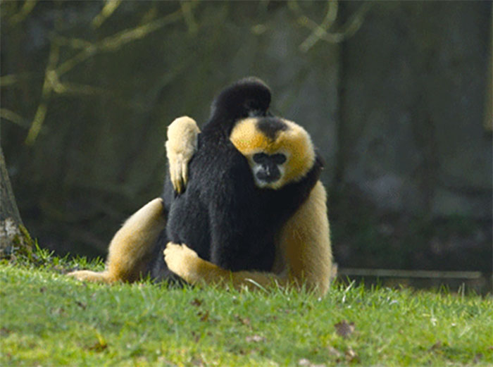 Gibbons Are One Of The Only Non-Human Primates Which Practice Monogamy. Both Parents Play A Vital Role In Raising Of Their Young