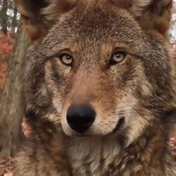 The Red Wolf (Canis Rufus) Is The Most Endangered Canid Species Alive. There Are Less Than 35 Individuals In The Wild After An Attempt To Bring The Species Numbers Up (Peaking At 130 Individuals In 2006). These Wolves Form Close-Knit Packs That Consist Of The Breeding Pair And Their Offspring