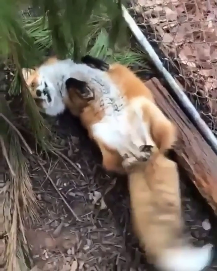 """The Red Fox's Adaptability And Resourcefulness Have Earned It A Legendary Reputation For Intelligence And Cunning. Also, A Fox's Tail Is Called A """"Brush"""""""