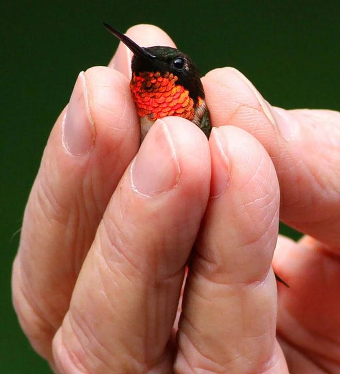 A Tiny Ruby-Throated Hummingbird