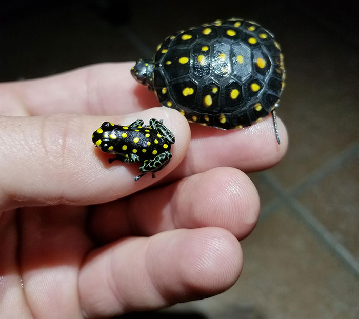 Spotted Turtle And Spotted Frog, Clemmys Guttata And Ranitomeya Vanzolini