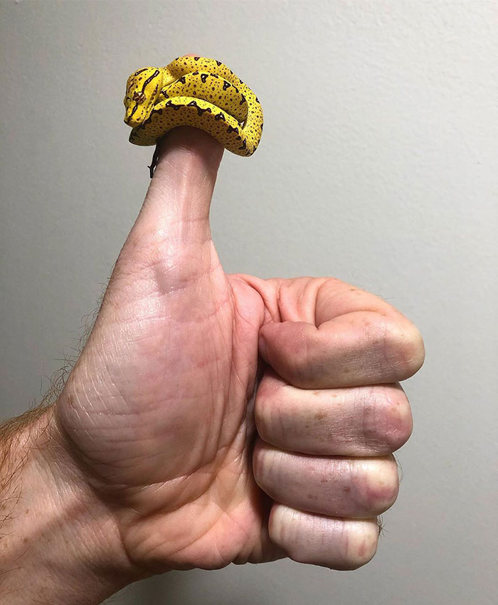 We Give Green Tree Pythons A Big Thumbs Up