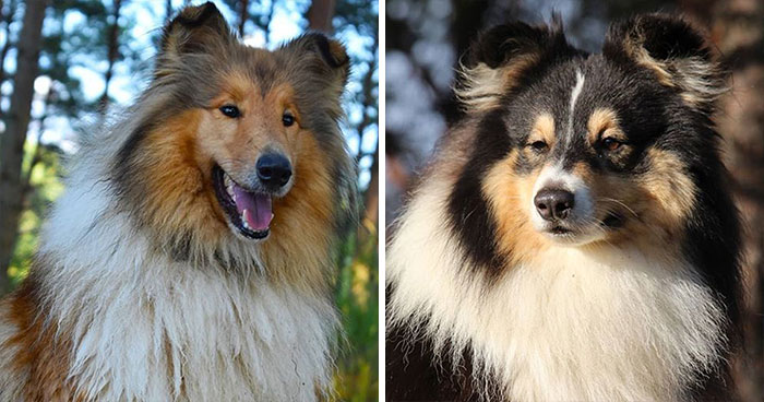 Collie & Pastor de las Shetlands