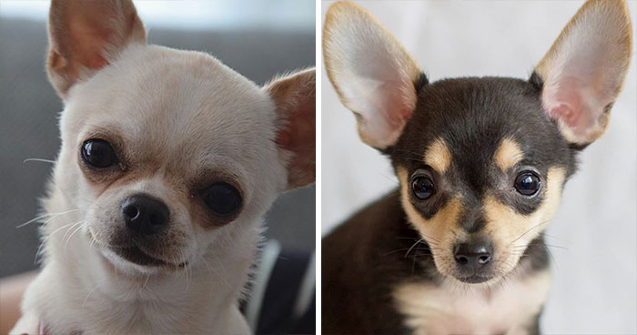 Chihuahua & Russian Toy Terrier