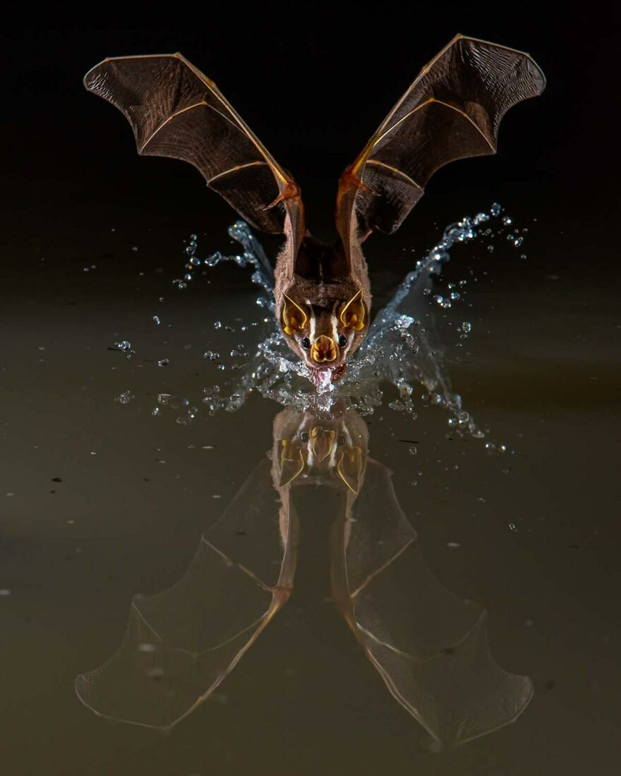 """Category Mammals: """"A Quick Sip"""" By Javier Aznar (Es)"""