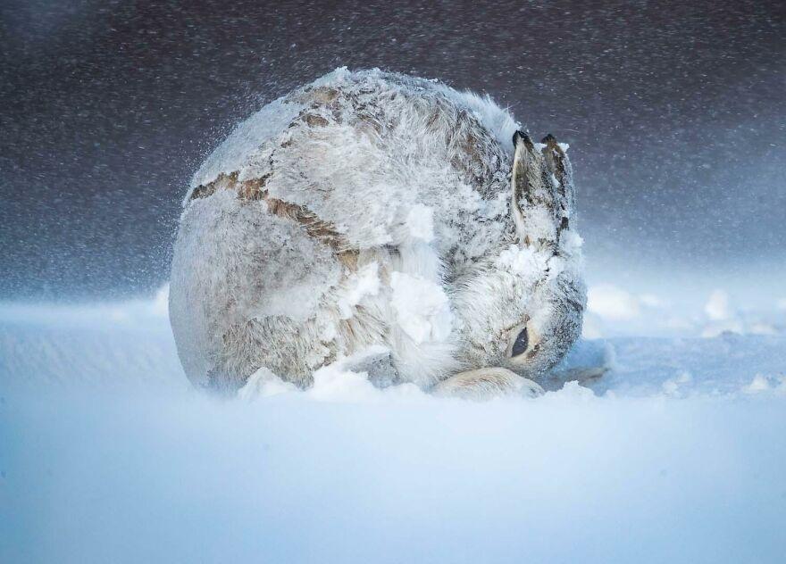 "Category Mammals: ""Hareball"" By Andrew Parkinson (Gb)"