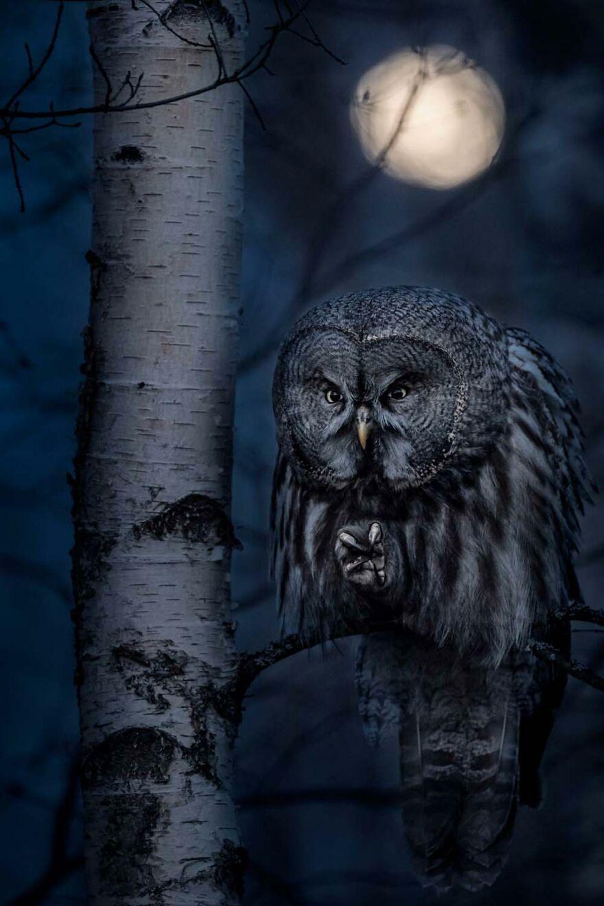 "Category Birds: ""Night Hunter"" By Jonas Classon (Se)"