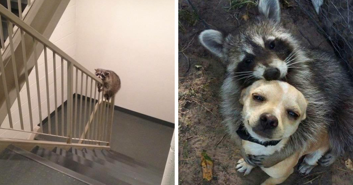 50 Times Trash Pandas Acted So Cute Or Funny, People Just Had To Document It And Share It Online