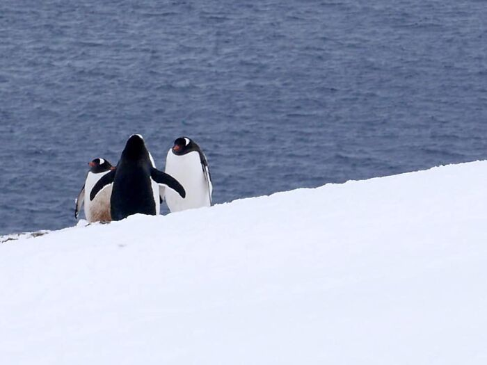 On A Trip To Antarctica, I Was Fortunate To Witness A Gentoo Penguin Wedding.
