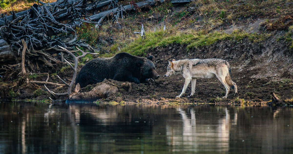 Wildlife Photographer Captures A Majestic Encounter Between A Grizzly Bear And A Wolf