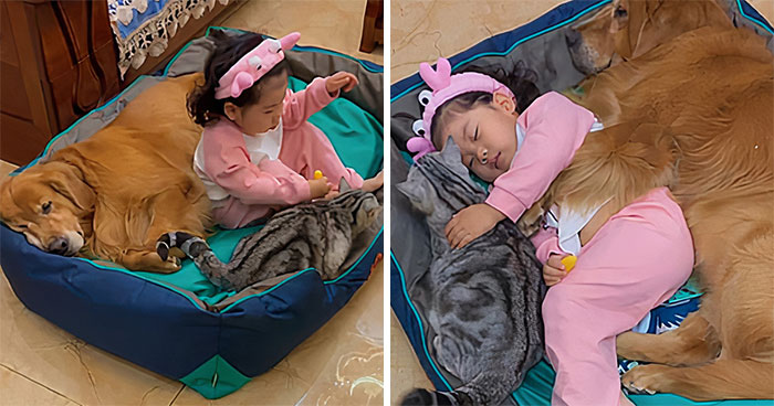 Watch Little Girl Get Ready For A Nap With Her Golden Retriever Dabao And Cat Motor
