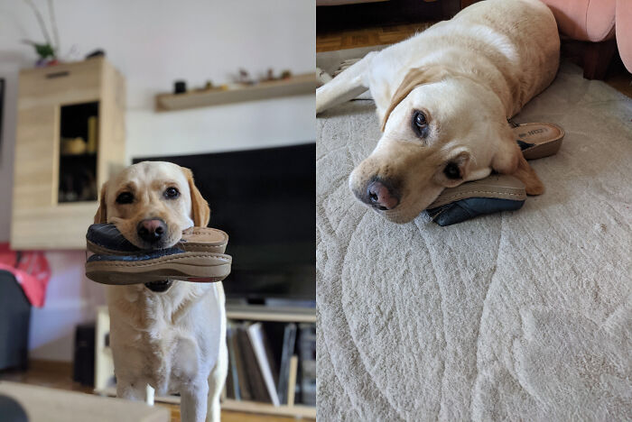 My Dog Has A Thing For Indoor Slippers. He's Always Taking Mine And Just Walks Around With Them In His Mouth Or Uses Them As A Pillow.