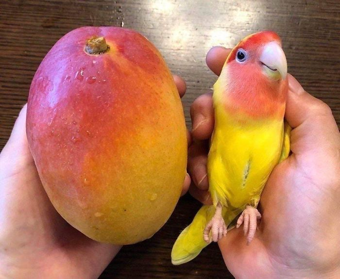 Perfect Resemblance Between Parrot And Mango