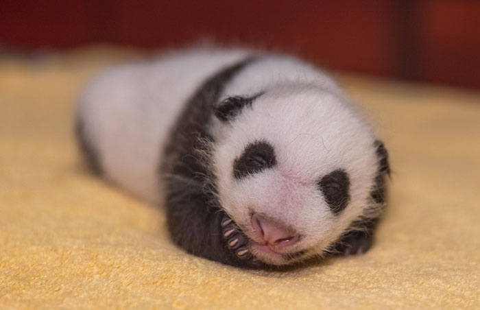 National Zoo Shares Photos Of A 1-Month-Old Panda Cub And It's Unbearably Cute