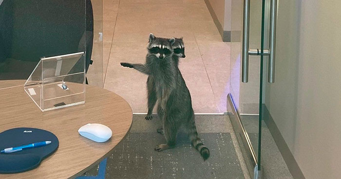 These 2 Sneaky Raccoons Broke Into A Bank In California