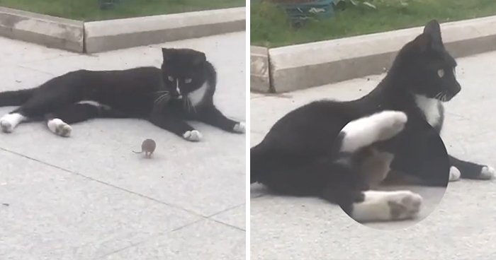 Someone Captures A Real-Life Tom And Jerry: A Mouse Running Up To A Cat To 'Cuddle' After Being Chased Around