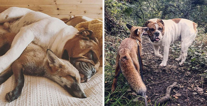 """Rescue Fox And A Bulldog Become Inseparable And Form A Real-Life """"The Fox And The Hound"""" Friendship"""