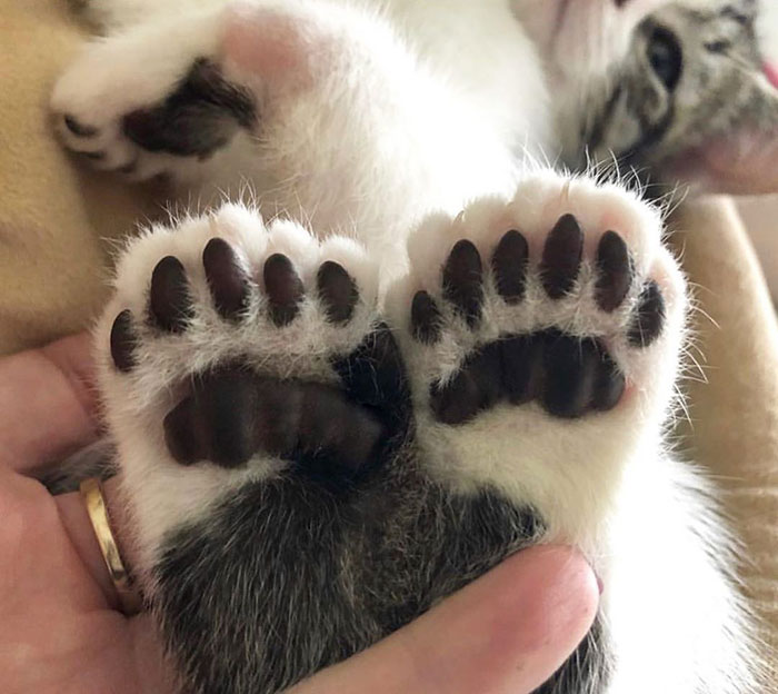 Skippy's Toes. He Was A Kitten I Fostered Last Year Who Had Radial Hypoplasia And A Lot Of Toes