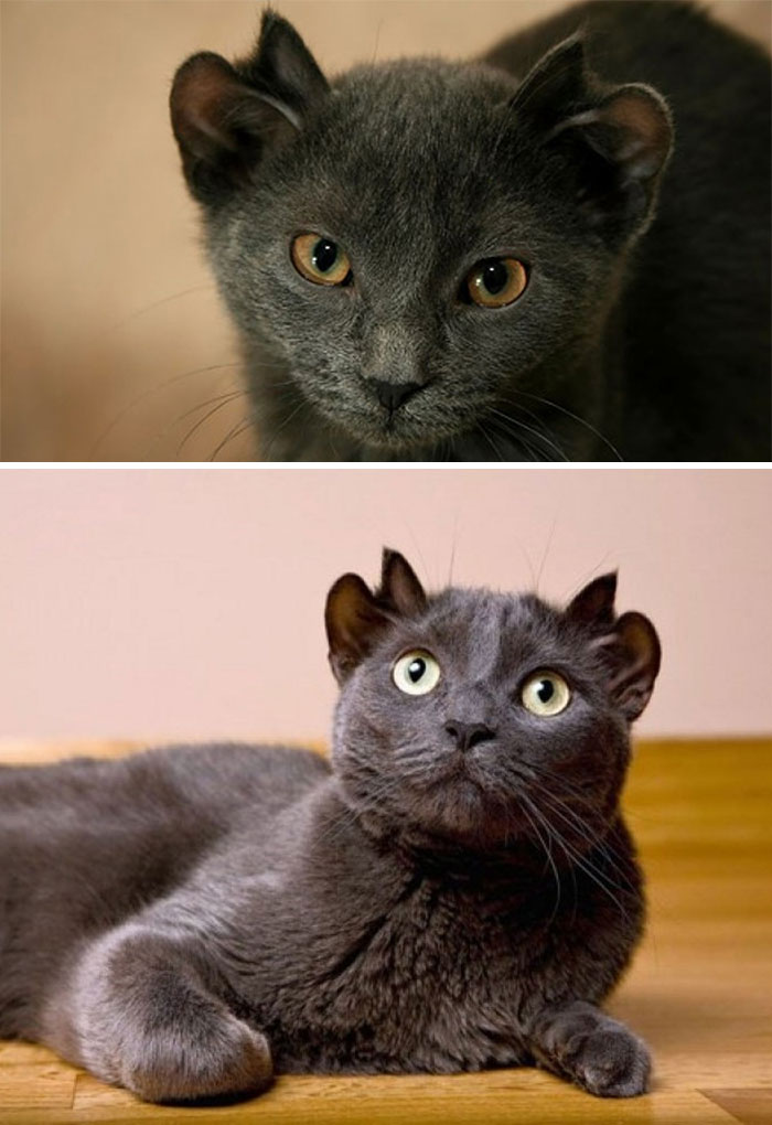 Cat Named Yoda Was Born With An Extra Set Of Ears