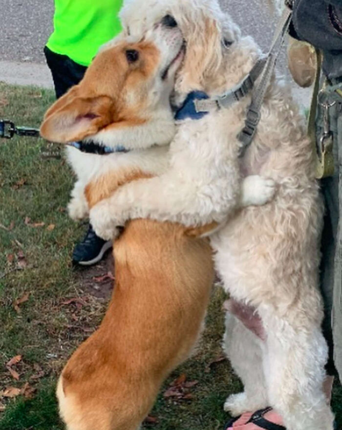 Tired Of Social Distancing, Corgi Hugs Every Friend He Meets On His Walks 10