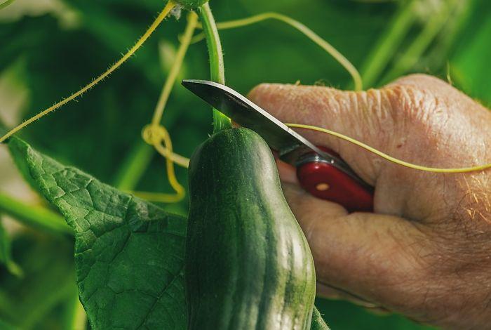 Keep Cucumbers At Room Temperature