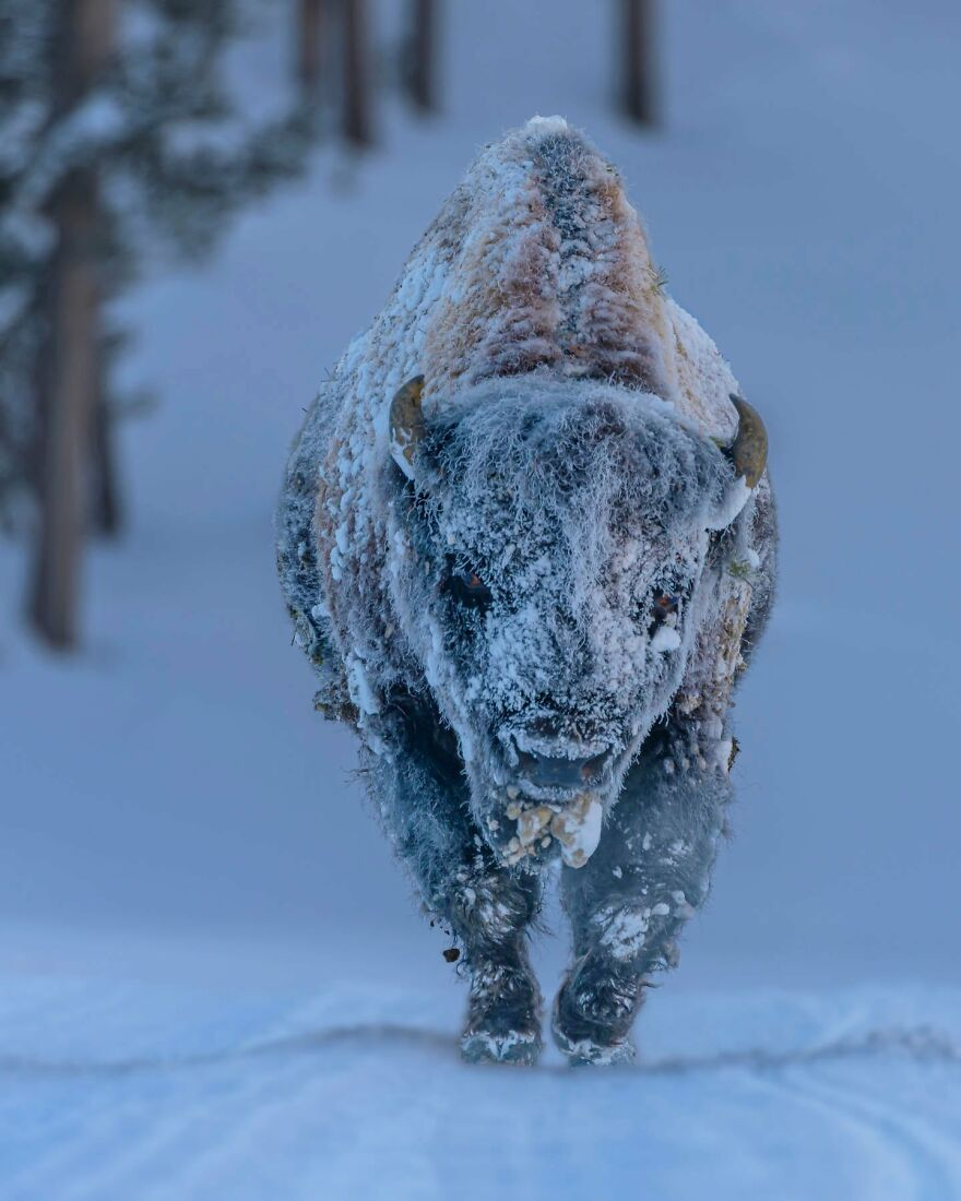 Finalist 'Frosty Bison' By Lhedien
