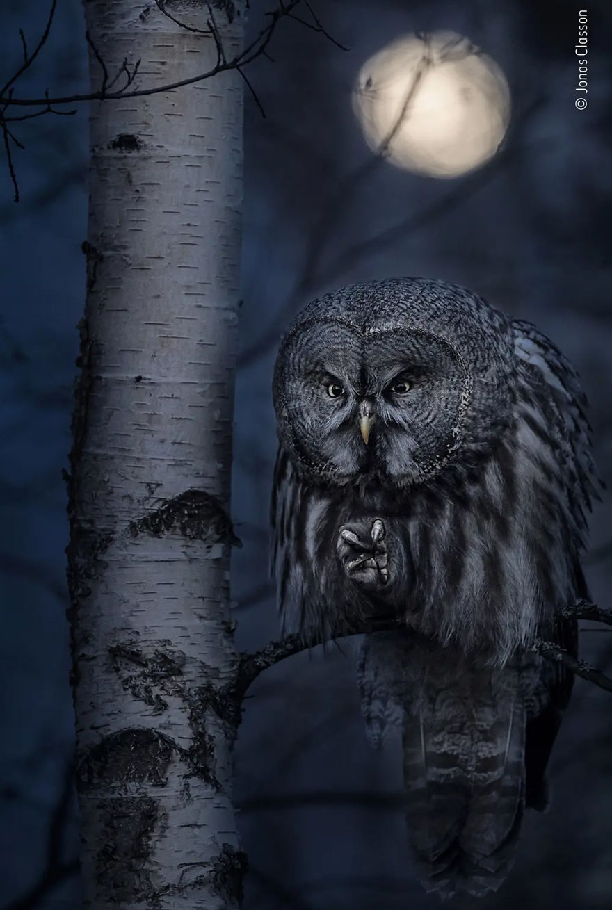 "Animal Portraits Highly Commended: ""Night Hunter"" By Jonas Classon"