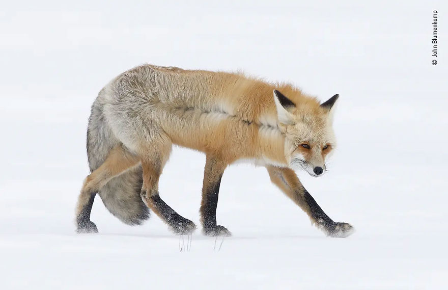 "Animal Portraits Highly Commended: A Fox For All Seasons"" By John Blumenkamp"