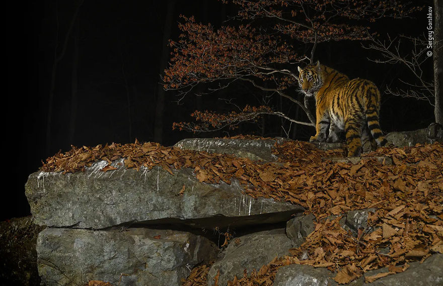 "Animal Portraits Highly Commended: ""Taiga Tiger In The Night"" By Sergey Gorshkov"