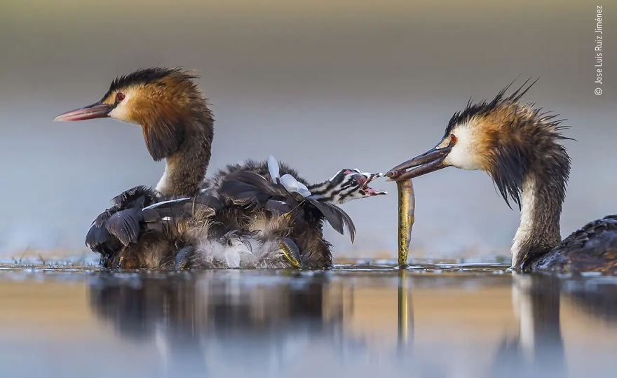 "Behaviour: Birds Winner: ""Great Crested Sunrise"" By Jose Luis Ruiz Jiménez"