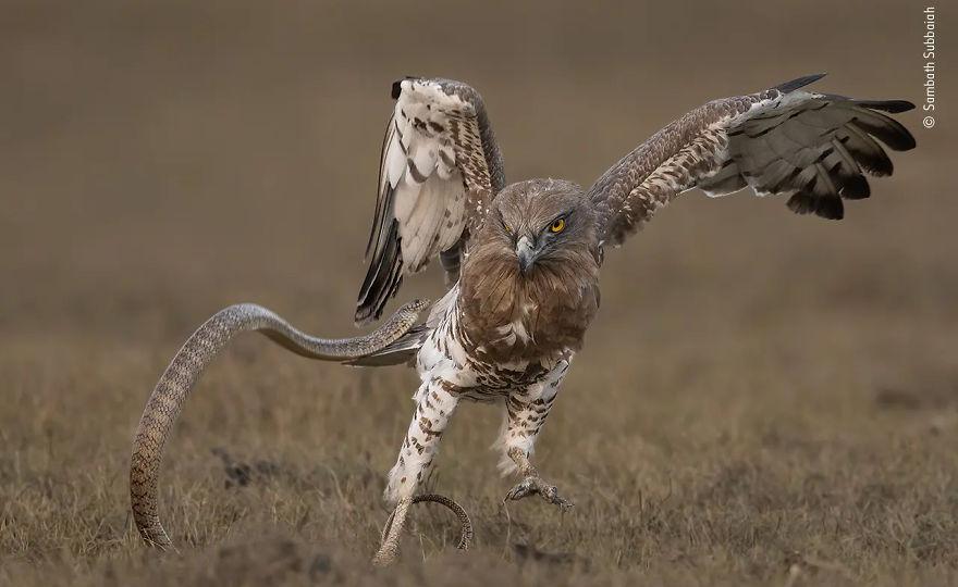 """Sjellja: Zogjtë shumë e vlerësuar: """"Gjarpri kundrejt shqiponjës"""" nga Sambath Subbaiah"""
