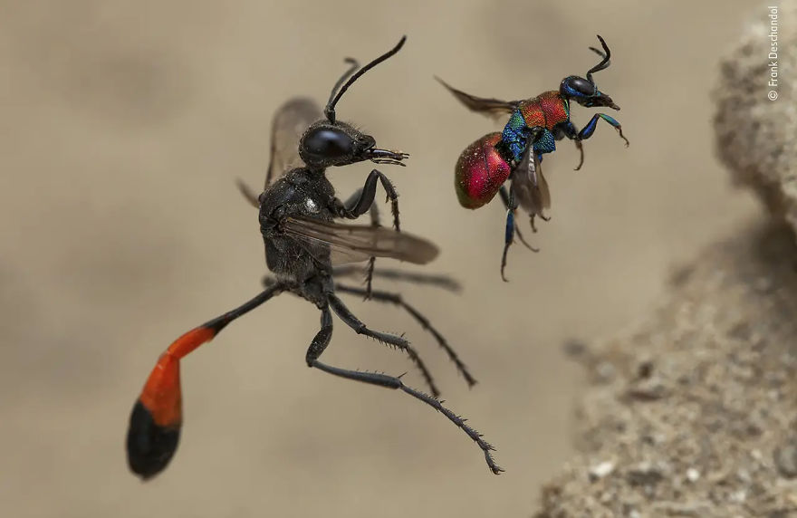"Behaviour: Invertebrates Winner: ""A Tale Of Two Wasps"" By Frank Deschandol"