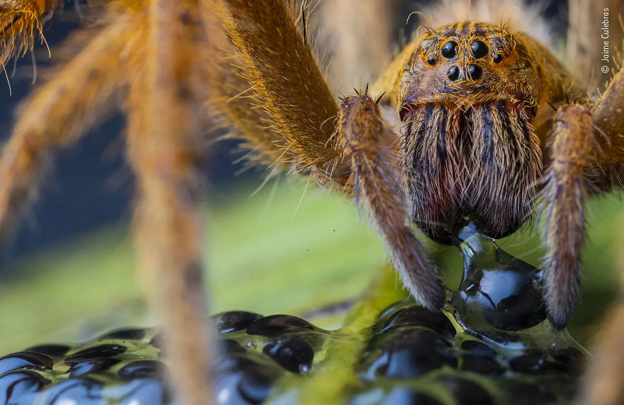 "Behaviour: Invertebrates Highly Commended ""The Spider's Supper"" By Jaime Culebras"