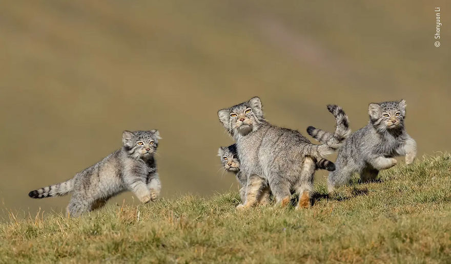 "Behaviour: Mammals Winner: ""When Mother Says Run"" By Shanyuan Li"