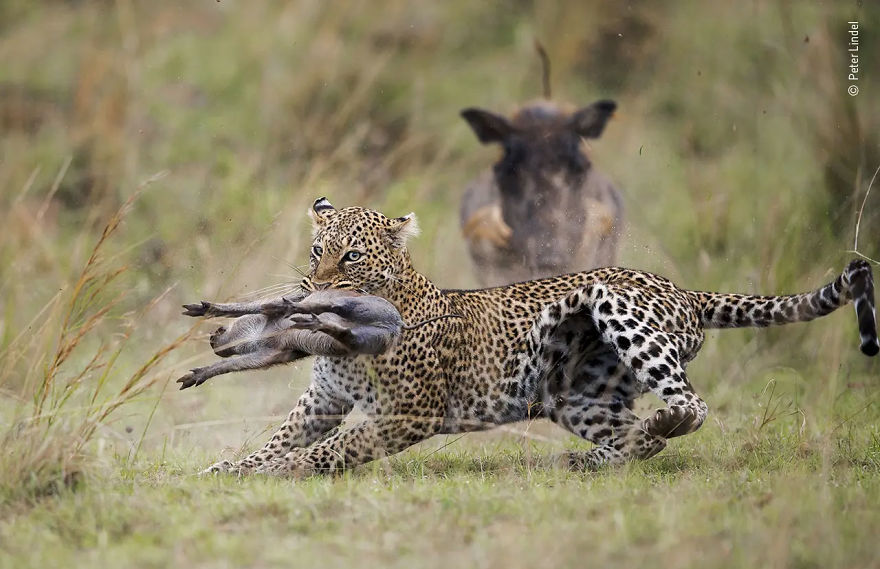 "Behaviour: Mammals Highly Commended: ""The Snatch"" By Peter Lindel"