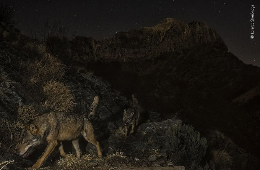 "Animals In Their Environment Highly Commended: ""Wolf Mountain"" By Lorenzo Shoubridge"