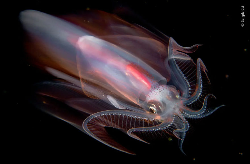 "Under Water Highly Commended: ""Speeding Squid"" By Songda Cai"