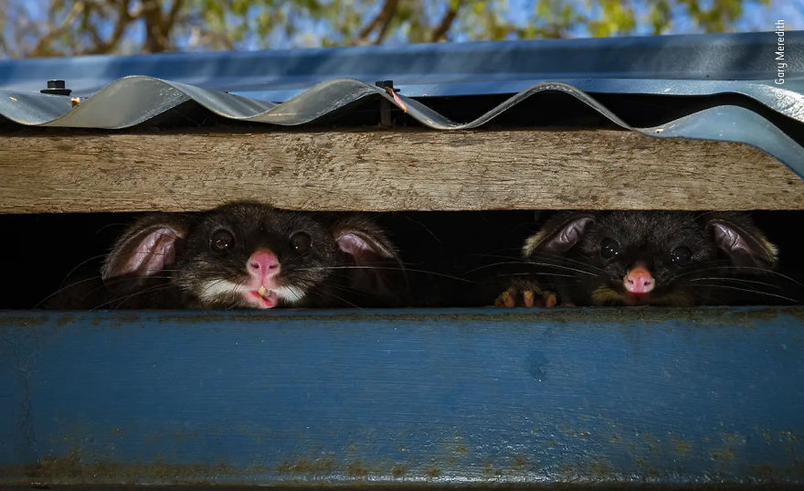 "Urban Wildlife Highly Commended: ""Peeking Possums"" By Gary Meredith"