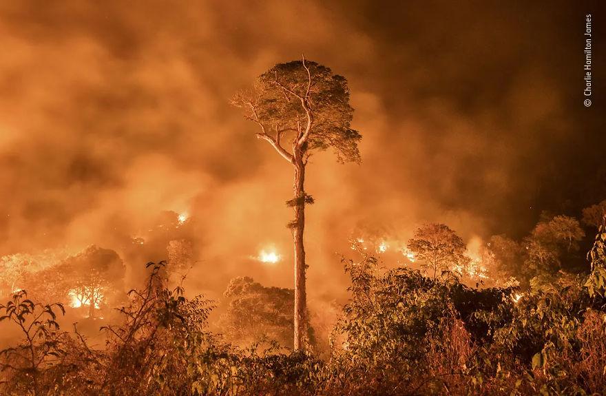 """Fotoreporteria e kafshëve të egra vlerësohet shumë: """"Amazon Burning"""" Nga Charlie Hamilton James"""